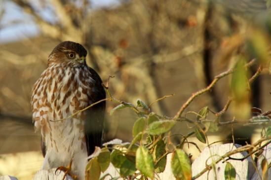 """juvenile cooper's hawk, texas (image: """"adam""""; courtesy photobotos.com)"""