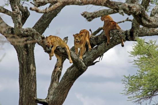tanzania tree lions (image: tony murtagh, courtesy photobotos.com)